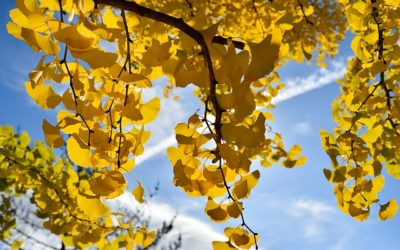 Tree of the Week – Ginkgo Biloba
