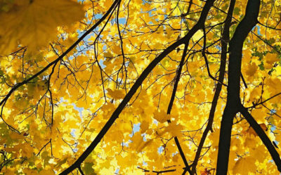 Tree of the Week – Norway Maple (Acer platanoides)