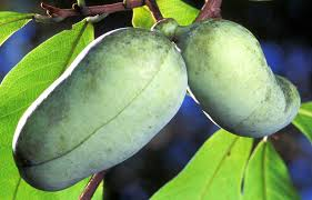 Native Tree of the Week – Pawpaw Tree