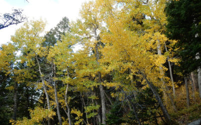 Native Tree of the Week – Balsam Poplar