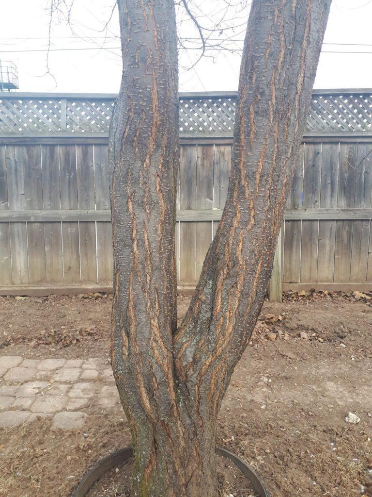 Canada plum bark