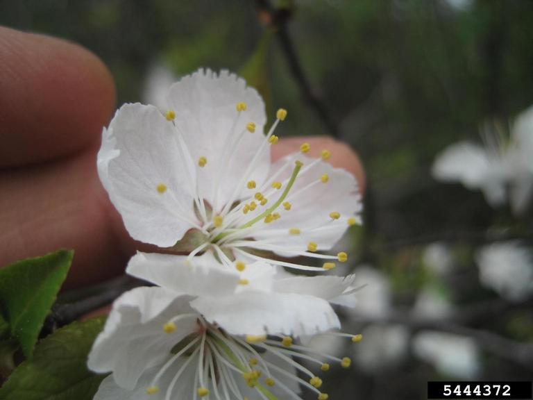 Canada plum flower