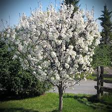 Native Tree of the Week – Canada Plum